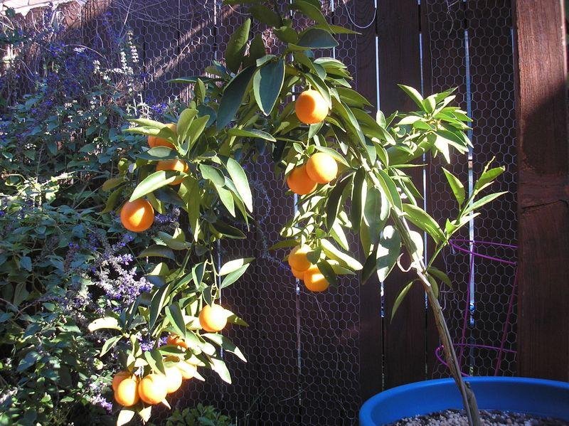 Orangequats